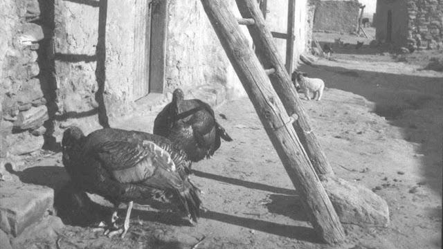 Research delves into role of turkeys to Ancestral Pueblo peoples