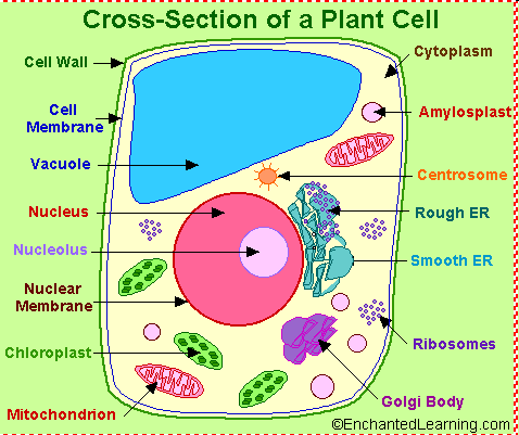 The biology cells diagram diy wiring diagrams south pontotoc biology plant and animal cell diagrams rh southbio blogspot com animal cell organelle diagrams plant and animal cell diagrams ccuart Choice Image