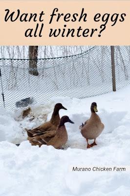 Raise ducks for eggs in winter