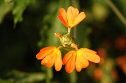 Crossandra  (क्रॉसेंड्रा)
