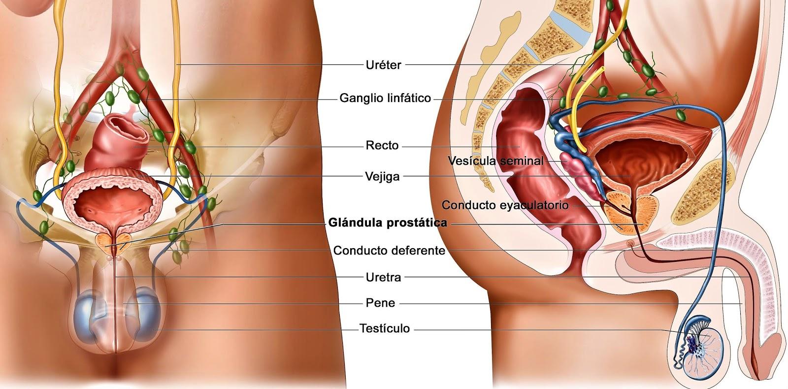 cómo escribir la glándula prostática
