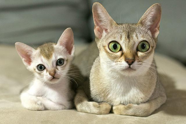 Cute Singapura Kittens