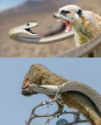 Black mamba with mongoose fight