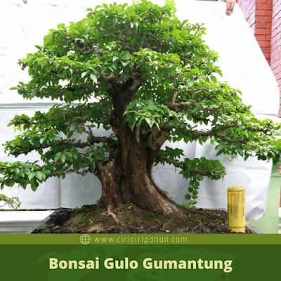 Bonsai Gulo Gumantung