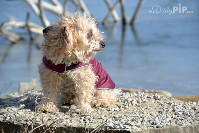 Ruby is bundled up and enjoys winter sun and water