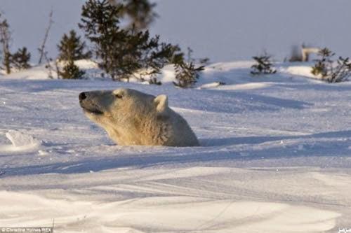 لحظة خروج دب قطبي دفن نفسه 8 أيام وسط الجليد 44980_34451.jpg