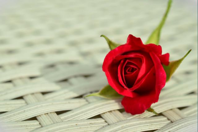 whatsapp dp rose image