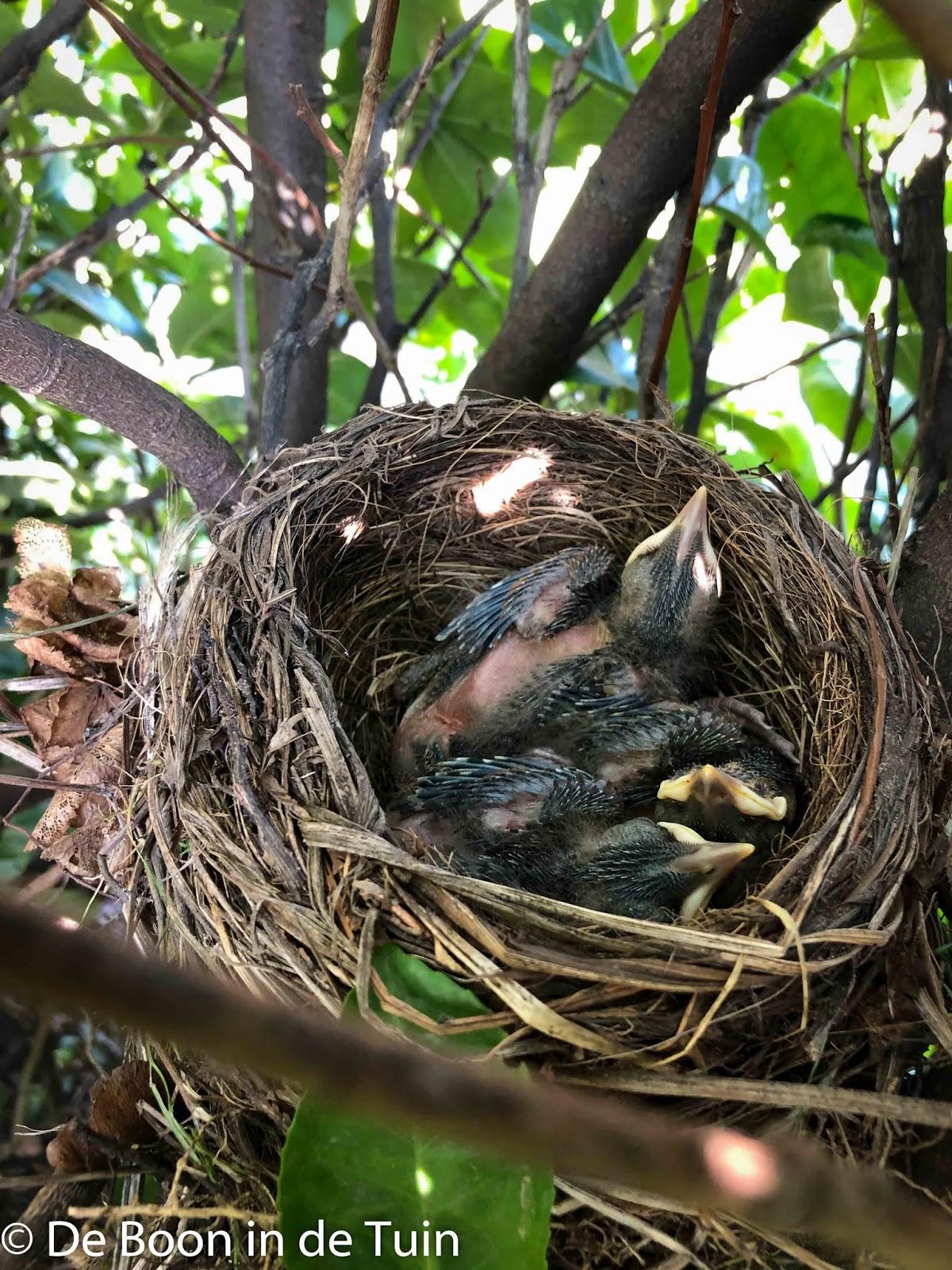 voorjaar lente moestuin volkstuin bloesem nest merels