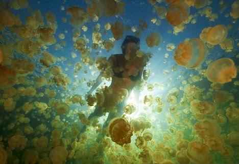 Danau Ubur-Ubur Unik di Indonesia