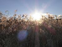 打上川治水緑地 太陽 すすき