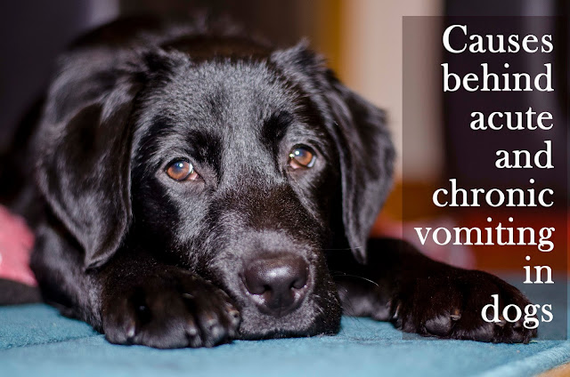 acute and chronic vomiting in dogs.