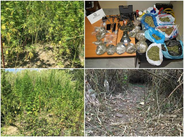 Συνελήφθη 59χρονος με φυτεία 31 δενδρυλλίων κάνναβης, με 2.357,64 γραμμάρια κάνναβης, όπλο, σιδερογροθιά και taser