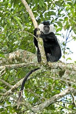 Angola colobus