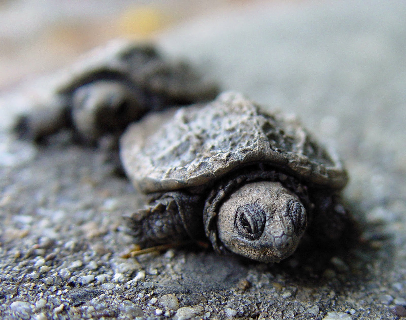 Baby Green Turtle Food