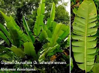 Heliconia danielsiana