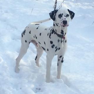 Dalmatian in the snow