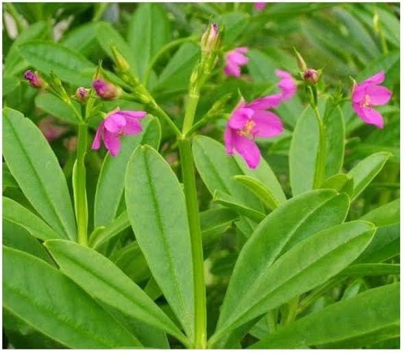 Philippine SPINACH Talinum, triangulare weed