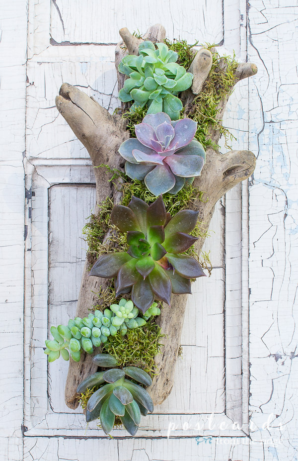 driftwood used as succulent planter