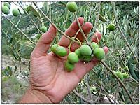 Berba maslina, Postira slike otok Brač Online