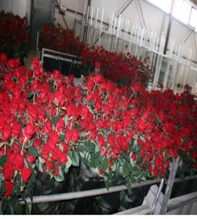 Бизнес на выращивании роз в теплицах