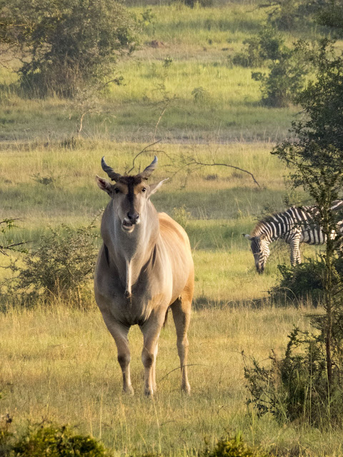 eland on a walking safari in Lake Mburo National Park in Uganda
