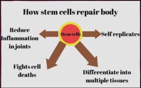 How stem cells repair body