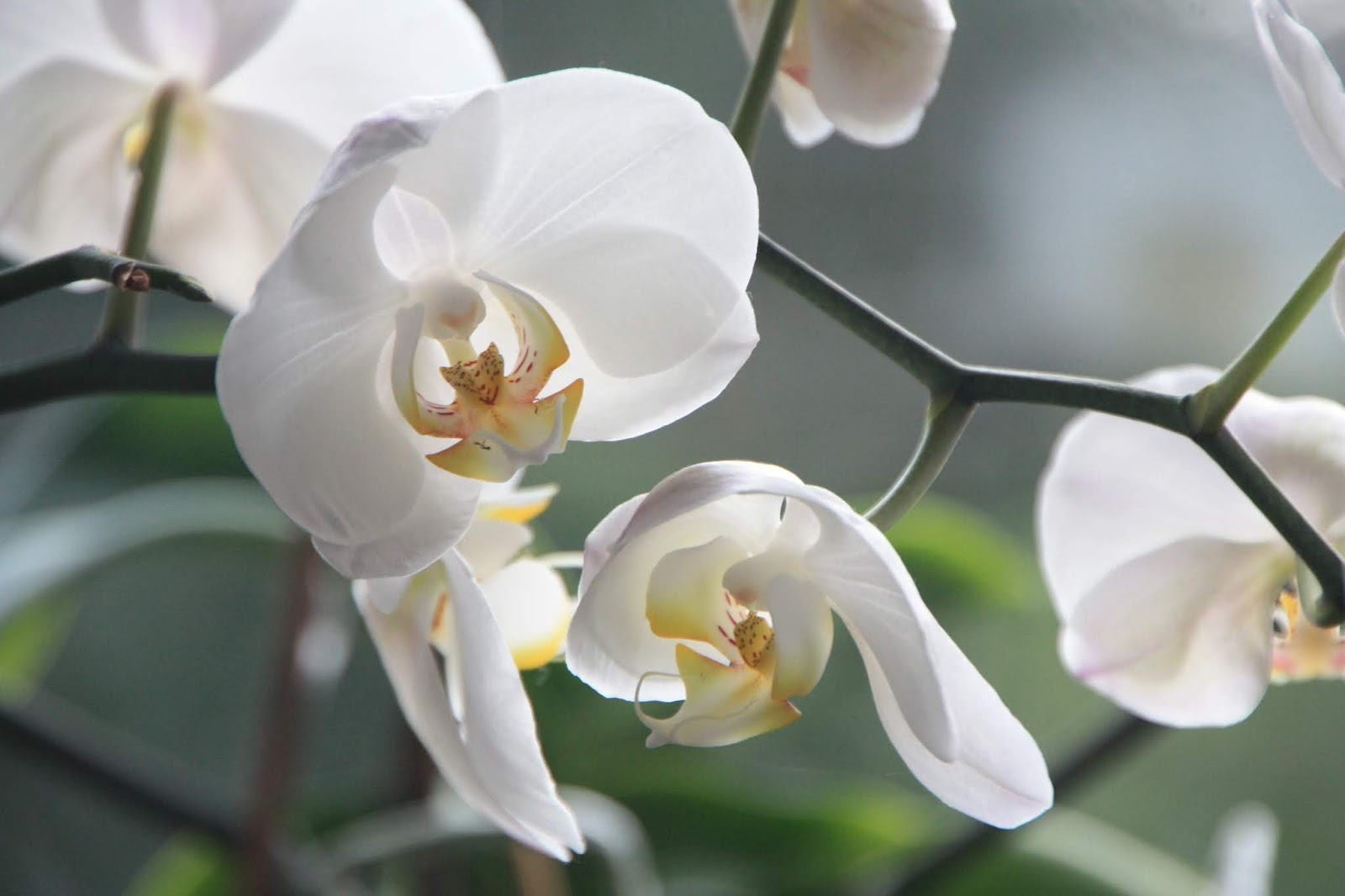 cara merawat anggrek bulan agar rajin berbunga