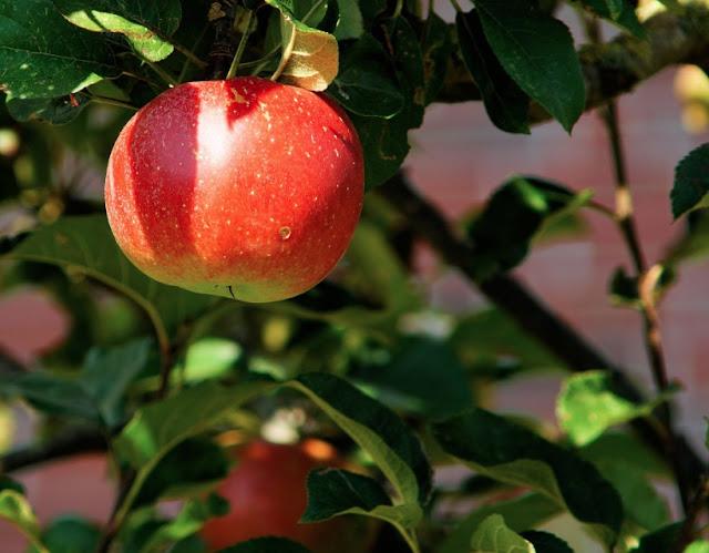How To Grow Apple Tree