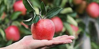 Mengonsumsi Buah Apel Bisa Bantu Menurunkan Berat Badan