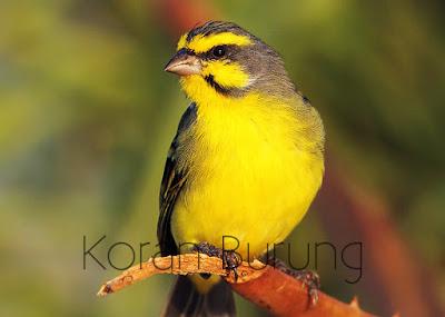 Burung mozambik atau green singing finch  Tips Perawatan Burung Mozambik Agar Cepat Gacor