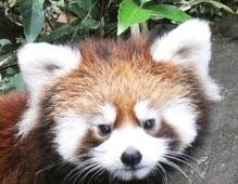 平川動物公園レッサーパンダ名前シュンペイ