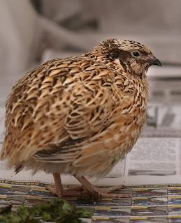 Pemilihan Ternak Bibit Burung Puyuh Petelur