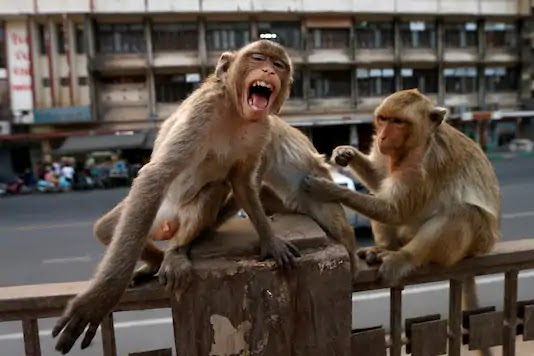Monkeys run away with coronavirus test samples after attacking lab technician