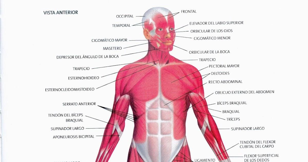 Bonito Músculos Superiores Del Cuerpo Colección de Imágenes ...