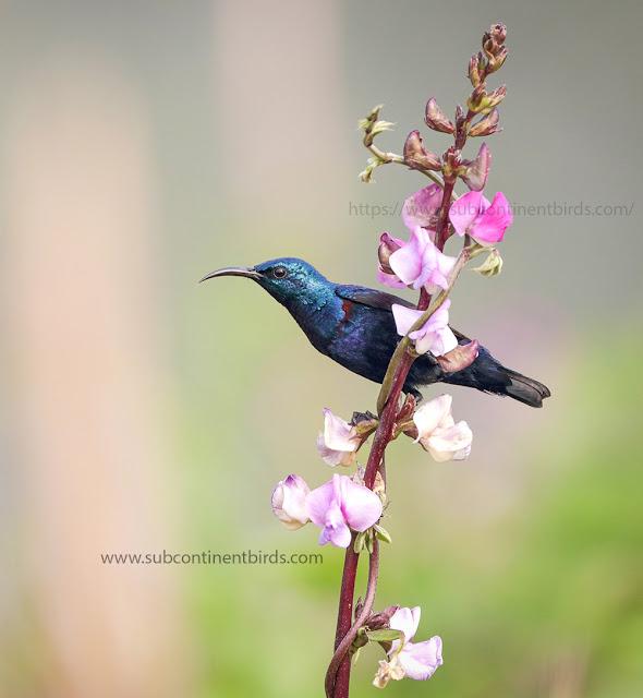 purple sunbird breeding male