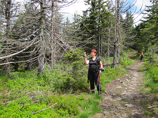 Wśród drzew górnoreglowego boru.