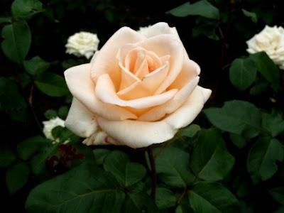красивая роза Осиана