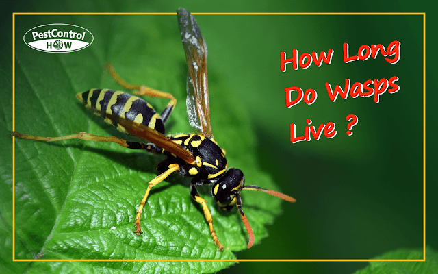 how-long-do-wasps-live