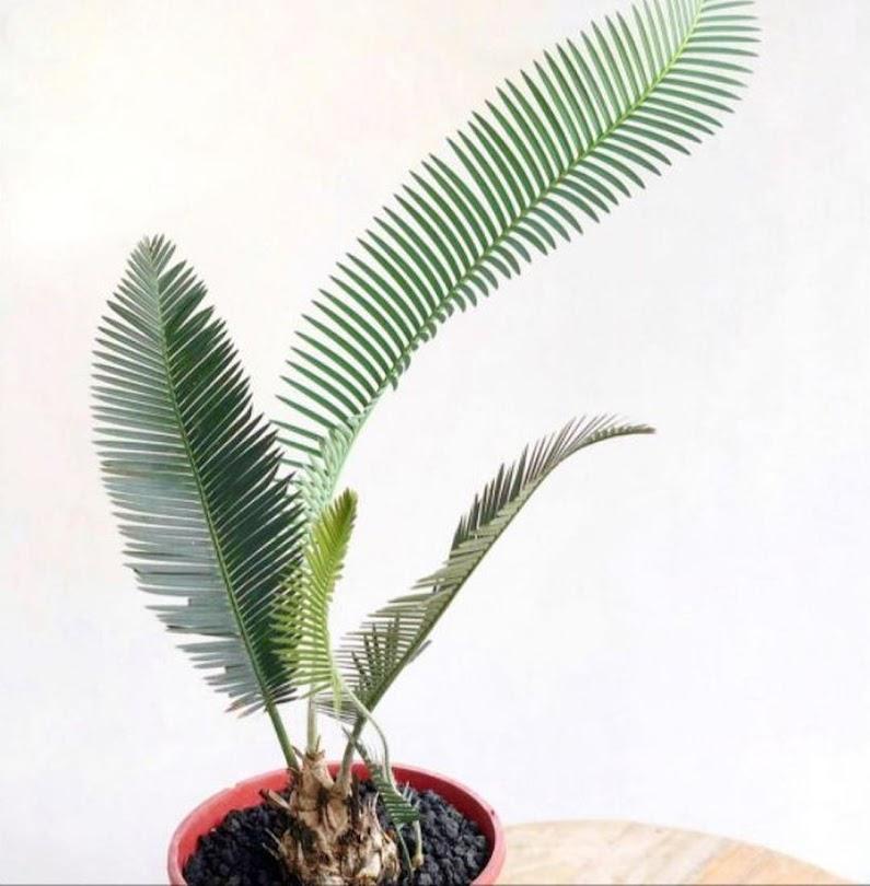Palem sikas tanaman hias palem sikas palem pohon palem sikas pohon palem Salatiga