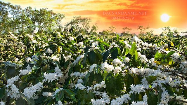 vườn mật ong hoa cà phê