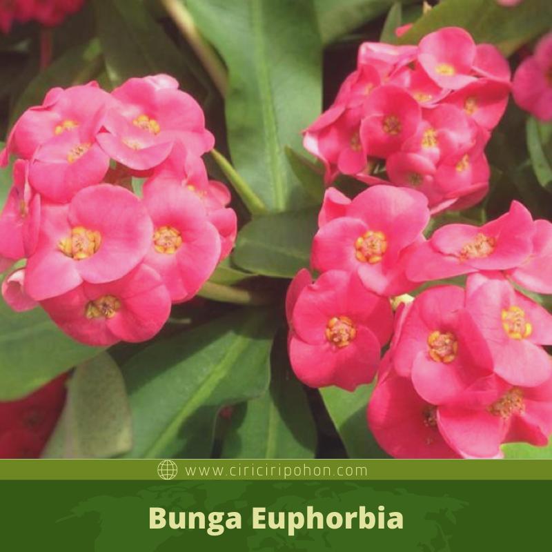 ciri ciri pohon bungan euphorbia