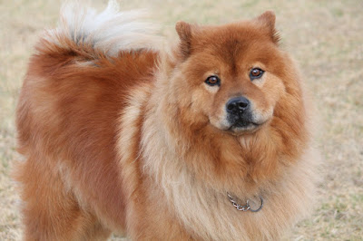 Asian dog breeds, Asian dogs