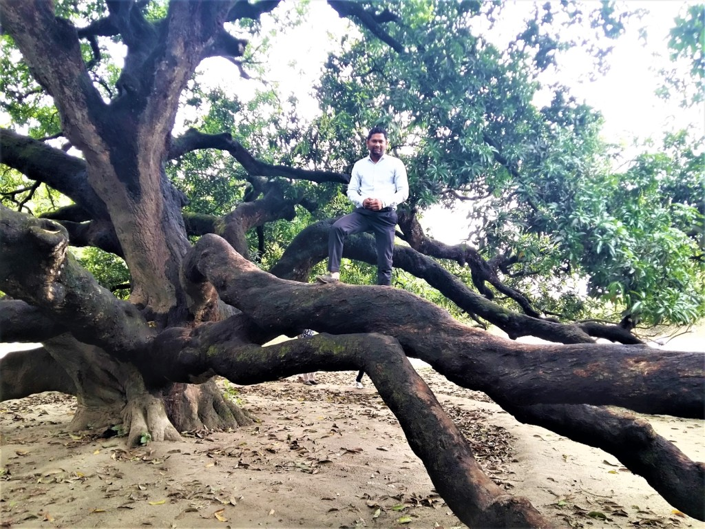 Thakurgaon Mango tree