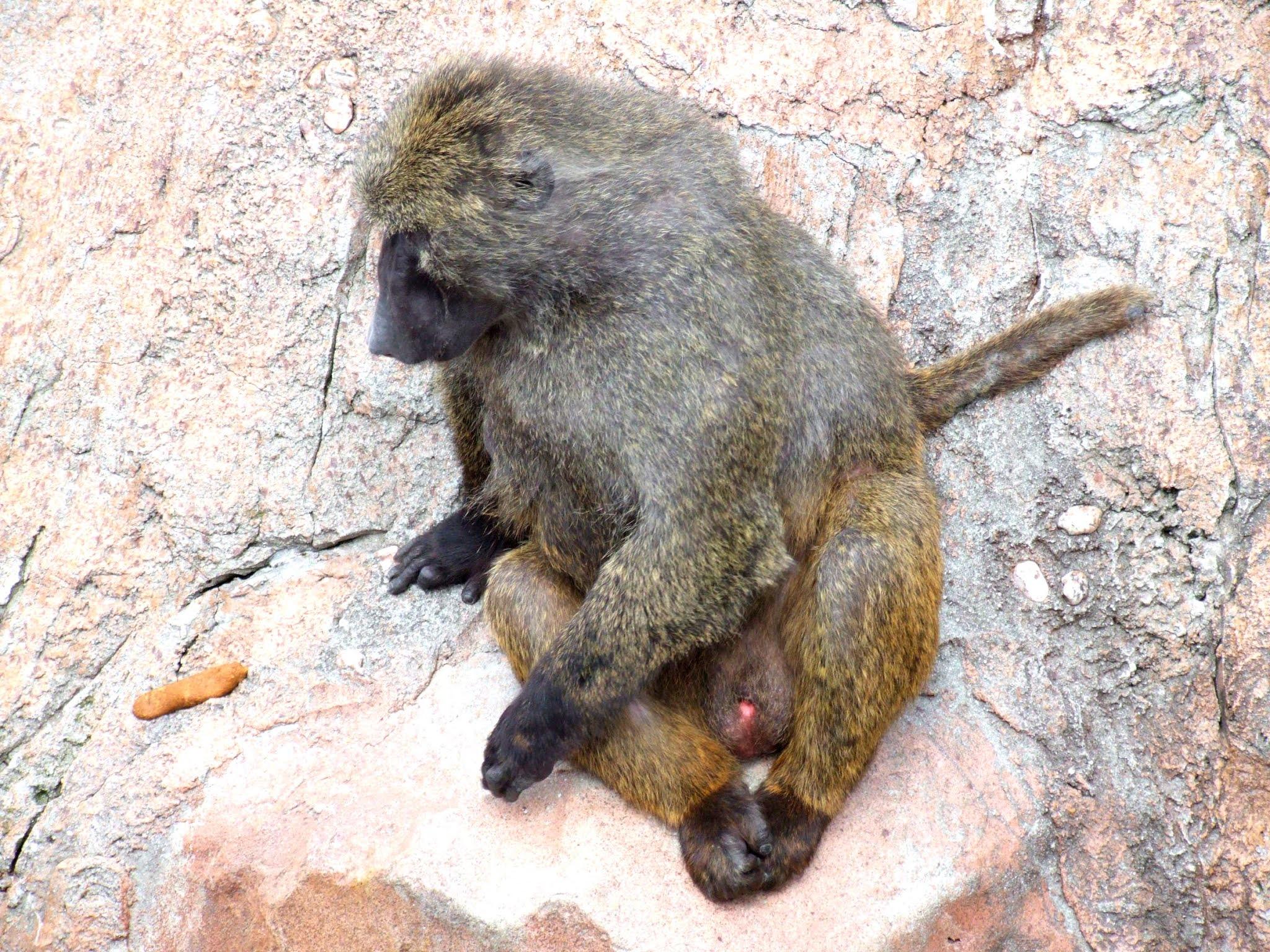 オナガザル科のアヌビスヒヒ(またの名をドグエラヒヒ)と言うお猿さん🐵の写真素材です。きれいにあぐらをかくように座ってて可愛いですね🐒