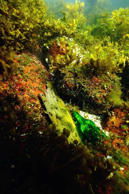 Kaunis vedenalainen maisema, jossa rakkohaurua ja punalevää kivikkoisella pohjalla. Joukossa on roskaa, kuten laudanpätkä ja vihreän värinen lasipullo.