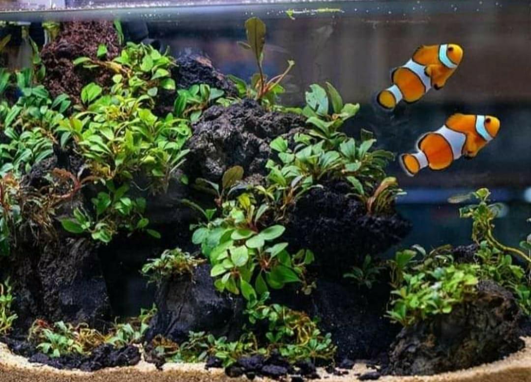 Ikan Nemo Air Tawar ?