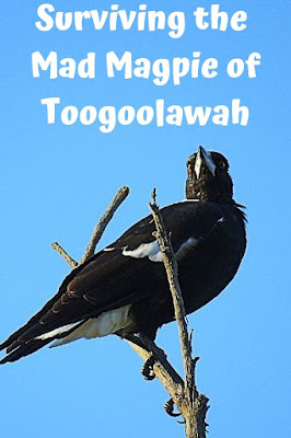 magpie in swooping season