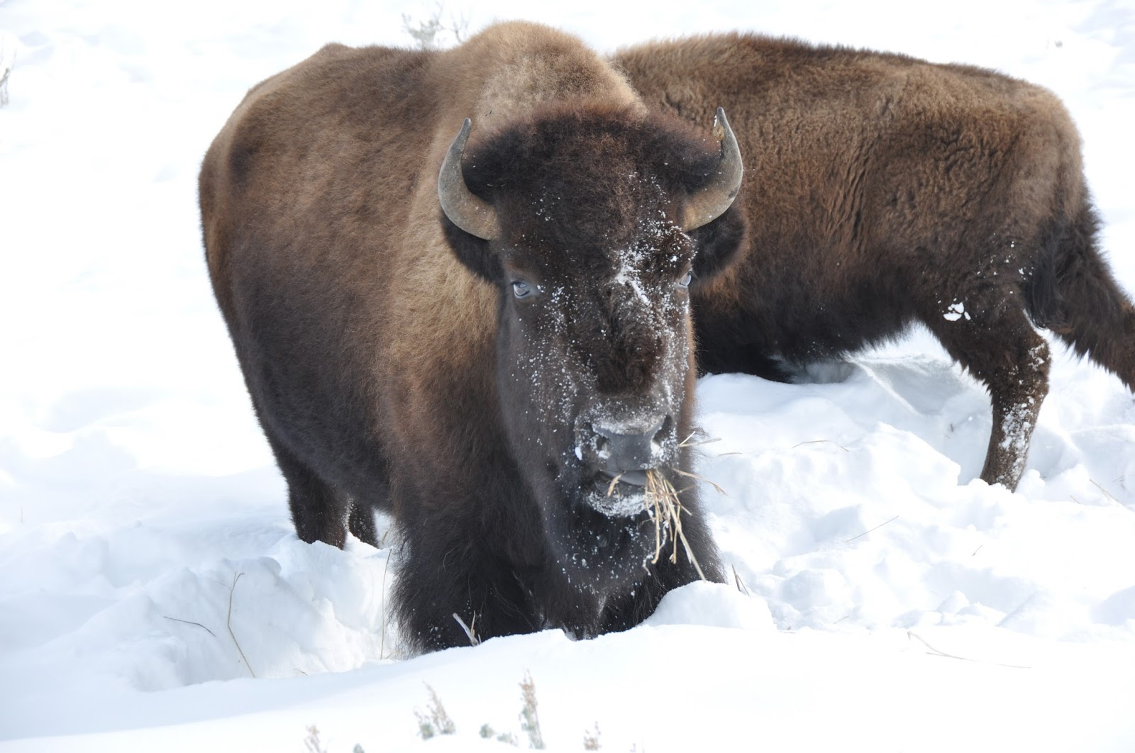bison use their head to move snow out of the way to find grass to eat