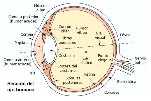 Anatomía Almeriense: el sistema visual