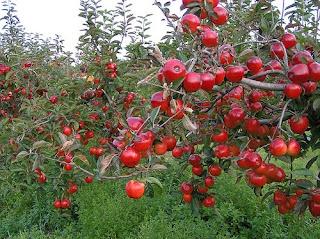 яблоки яблоня урожай плодоношения дерево ветка много яблок